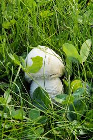 Are Backyard Mushrooms Poisonous Why Are There Mushrooms Growing In My Lawn Tomlinson Bomberger