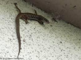 corralitas red car property corralitas drive alligator lizard