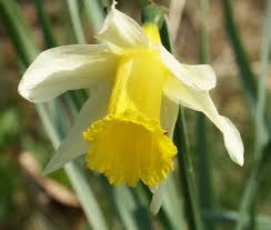 british native plants narcissus pseudonarcissus wikipedia