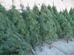 christmas trees for sale in sedalia