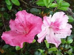 fall blooming azaleas include robin hill encore lsu agcenter