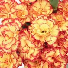 carnation flowers yellow and orange mini carnation flowers