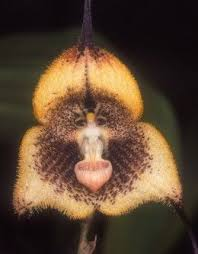 monkey orchid monkey orchid search awesome flowers