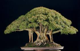 bonsai trees real miniature trees the house of wolves