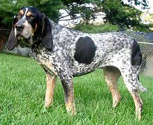 bluetick coonhound mississippi coon hunting wikipedia