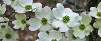 dogwood flowers virginia state flower american dogwood proflowers