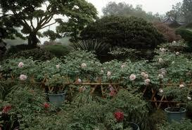 plants native to china tree peonies in china crickethillgarden
