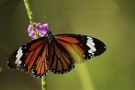 monarch butterfly other butterfly images pixellicious
