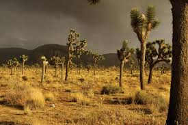 mojave desert native plants sacrificial land will renewable energy devour the mojave desert