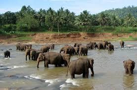 pinnawala elephant orphanage wikipedia