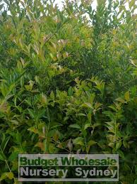australian native screening plants hedging plants budget wholesale nursery sydney