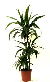 fresh common house plants arrowhead 6075