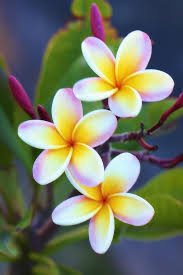 plumeria flowers backyard plumeria photograph by jade moon backyard jade and moon