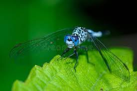 was ist das für ein insekt eine wanze oder was urlaub insekten libelle insekt wanze stockbild bild darter zweig 94368661