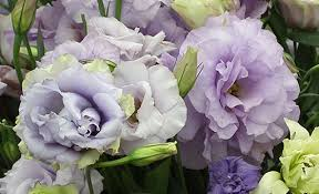 lisianthus flower flowers their meanings lisianthus interflora