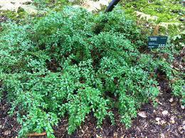 shade tolerant native plants paxistima paxistima myrsinites oregon boxwood u2013 a pnw native for
