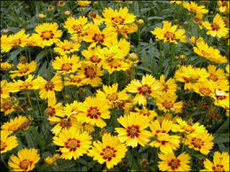Florida State Wild Flower - plant id flowers and foliage coreopsis florida master gardener