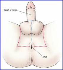 Male Anatomy Perineum Duke Anatomy Lab 9 Perineum