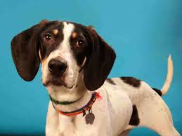 videos of bluetick coonhounds talking dogs at for love of a dog adopt elvis a bluetick