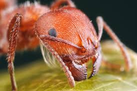 urbane macro red ant insect animal hd wallpapers photos 1200x800px