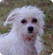 bichon frise long hair chi chon bichon frise chihuahua mix info care puppies pictures