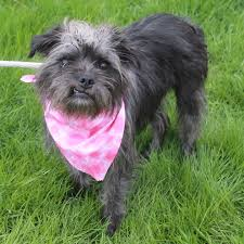 affenpinscher terrier mix jada adopted