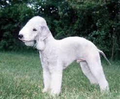 bedlington terrier guide bedlington terrier dog breed info u0026 pictures bedlington terrier
