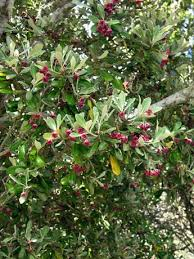 karo shrubs and small trees of the forest te ara encyclopedia