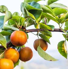 mail order fruit asian pear subarashii kudamono