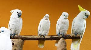 cockatoo vs cockatiel pet bird youtube