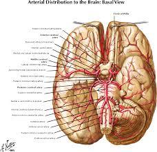 Blood Brain Barrier Anatomy Blood Supply Dural Sinuses And Blood Brain Barrier Dr Povlishock