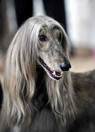 afghan hound grooming styles afghan hound dogs pinterest to find out http www