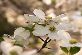 dogwood flowers dogwood flower meaning flower meaning