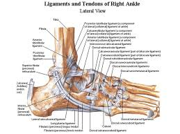 Lateral Collateral Ligament Ankle Most Common Injury Gross And Functional Anatomy Of The Ankle Joint