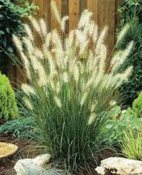 bunny tails ornamental grass oh how my used to