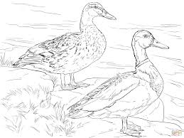 ducks coloring pages free coloring pages