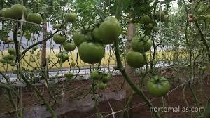 training plants with hortomallas trellis netting improves