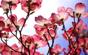 Magnolia Wallpaper Tag Archived Of Flower Meaning Wallpapers At Tarrlink