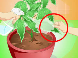 how to grow chocolate indoors 12 steps with pictures wikihow