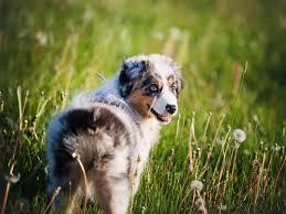 australian shepherd family dog laconia australian shepherds puppies for sale