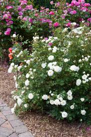 white roses for sale white rosebush spicy nature whiteout for sale the