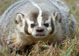 Utah wild animals images A disapproving badger utah 39 s critters pinterest ferret jpg