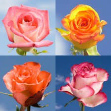 flowers express globalrose 50 fresh cut multicolor roses fresh