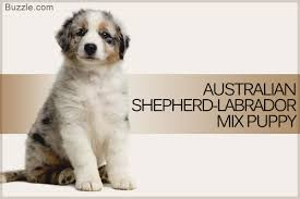 lifespan of australian shepherd fascinating facts about the australian shepherd labrador mix breed