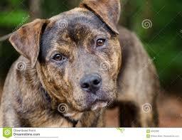 american pit bull terrier website brindle american pit bull terrier mix dog portrait stock photo