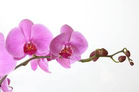 moth orchid phalaenopsis orchid in bloom free shipping