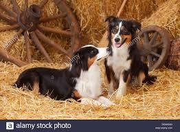 australian shepherd iq dog australian shepherd aussie two stock photos u0026 dog australian