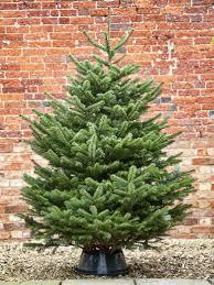 nordman fir christmas tree christmas lights decoration