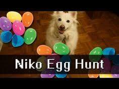 american eskimo dog tricks super cute dog trick american eskimo niko knows how to go hide