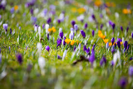 spring flower crocuses free stock photo public domain pictures
